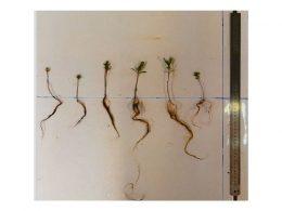 Metrosideros Laurifolia sans mycorhizes